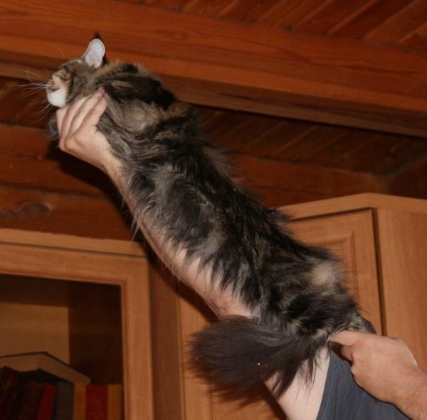 Четыре котенка породы мейн кун дикого окраса