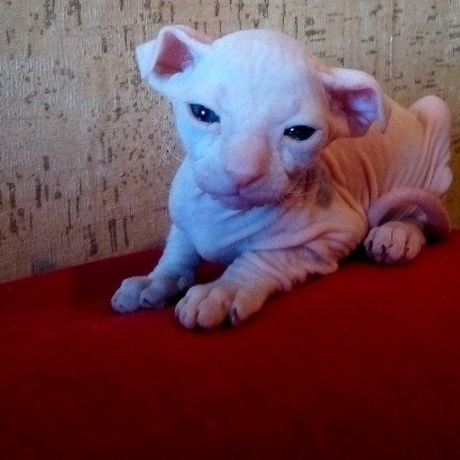 Донской сфинкс,  котята породистые