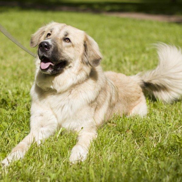 Роскошная собака - ЕВА - ищет свою семью