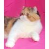 экзотические и персидские котята SHOW -класса