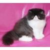 экзотические и персидские котята от питомника