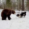 Карельская медвежья собака, щенки