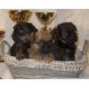 Великолепные щенки  гриффона и брабансона рыжие и черно-подпалые