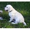 Подрощенный щенок голден (золотистого) ретривера