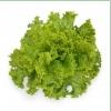 Семена салата KS 129 фирмы Китано