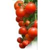 Семена томата ХИТОМАКС F1 фирмы Китано
