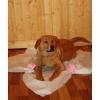 Солнечный щенок метис ретривера в дар