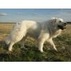 продаются щенки пиренейской горной собаки
